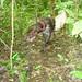 Google searching for jaguar scat