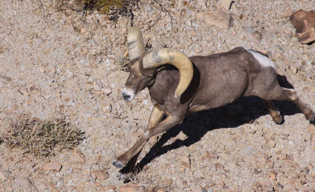 Desert bighorn ram california department of fish and for Department of fish and game