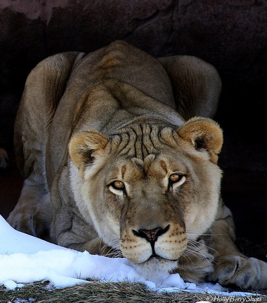 African Lion Jerroh Scientific Name Panthera Leo