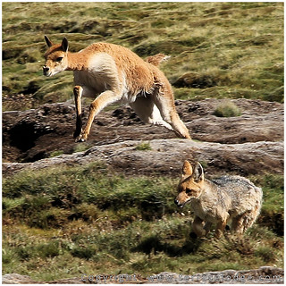 male vicuña against male fox 3 | by www.TerraceLodge.com