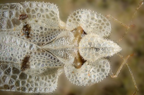 top of a lace bug, whose surface is elaborately sculptured like lattice work