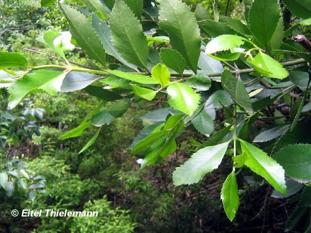 Laureliopsis philippiana