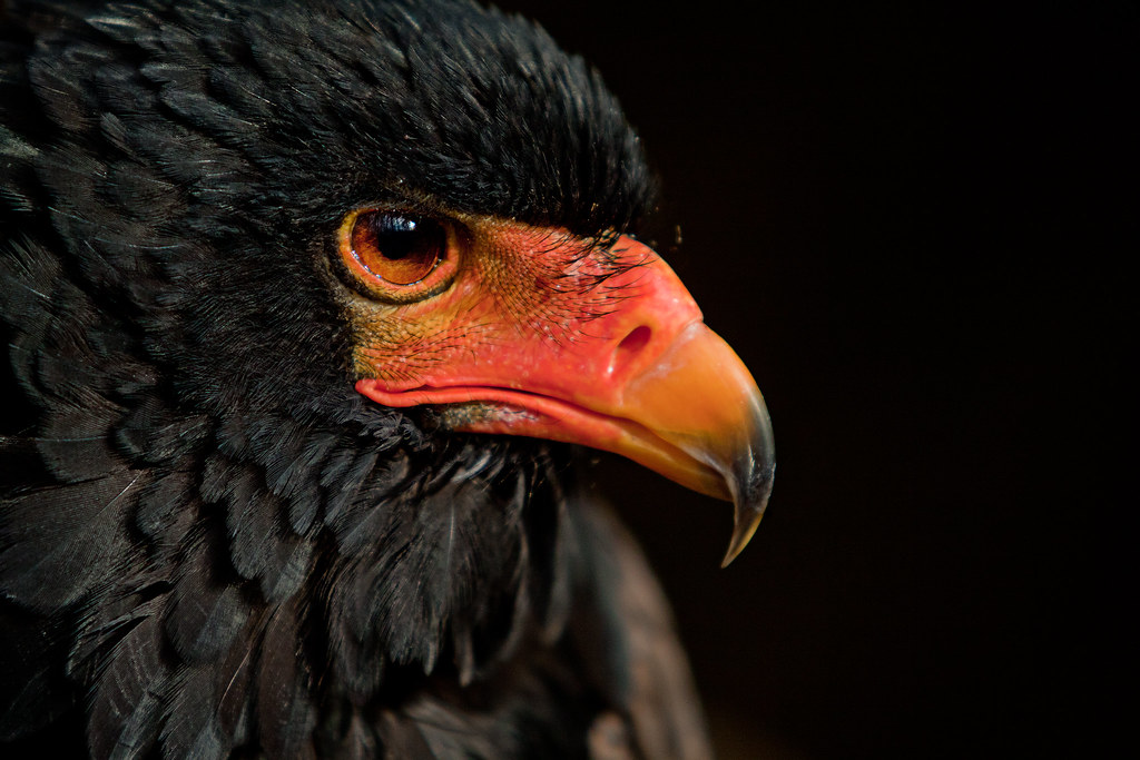 African Red Faced Eagl...