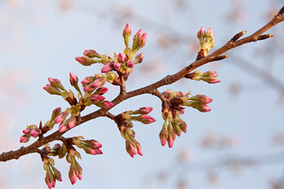 Budding Cherry Blossom Branch | by Kevin H.