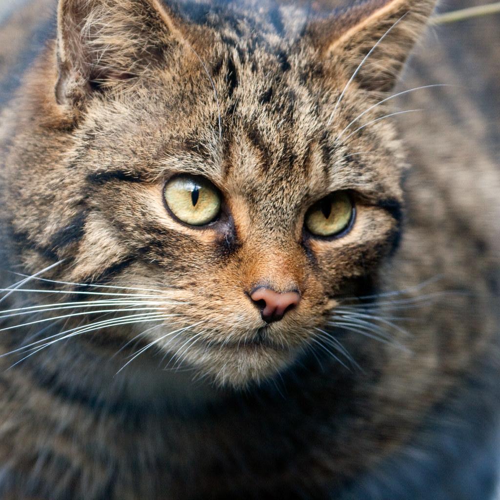Acottish Wild Cat Schedule Protection