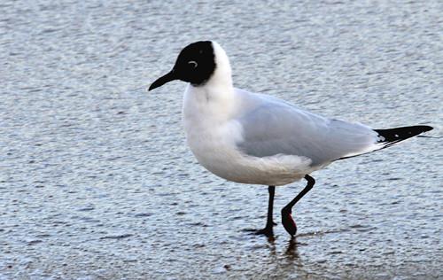 What Is Ce >> Oiseau de mer | Ce bel oiseau serait-ce une sterne ? | Momoly | Flickr