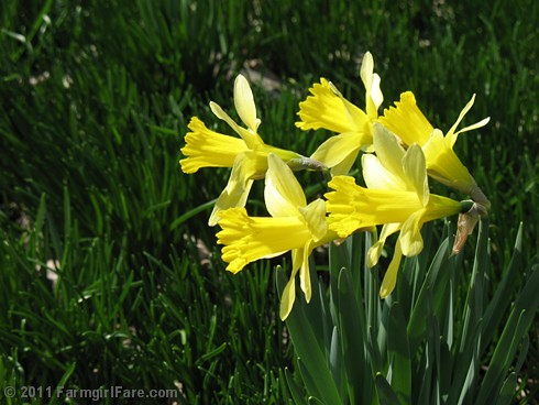 Daffodils in the front yard | by Farmgirl Susan