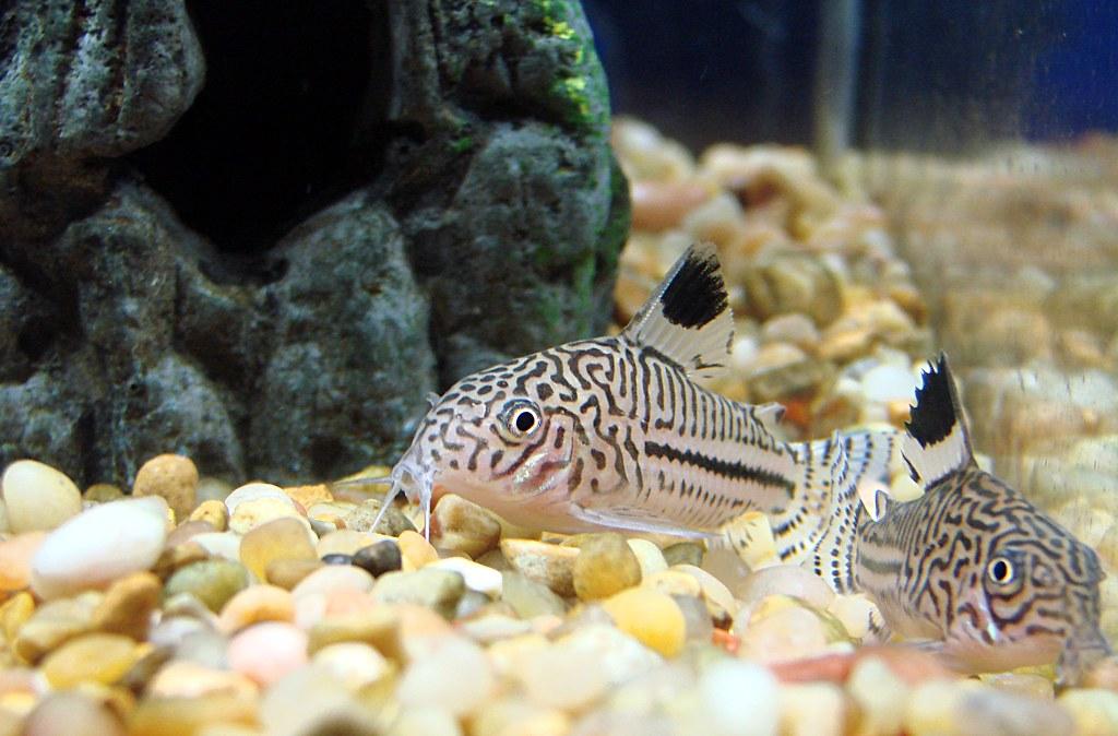 Пятнистые сомики аквариумные виды