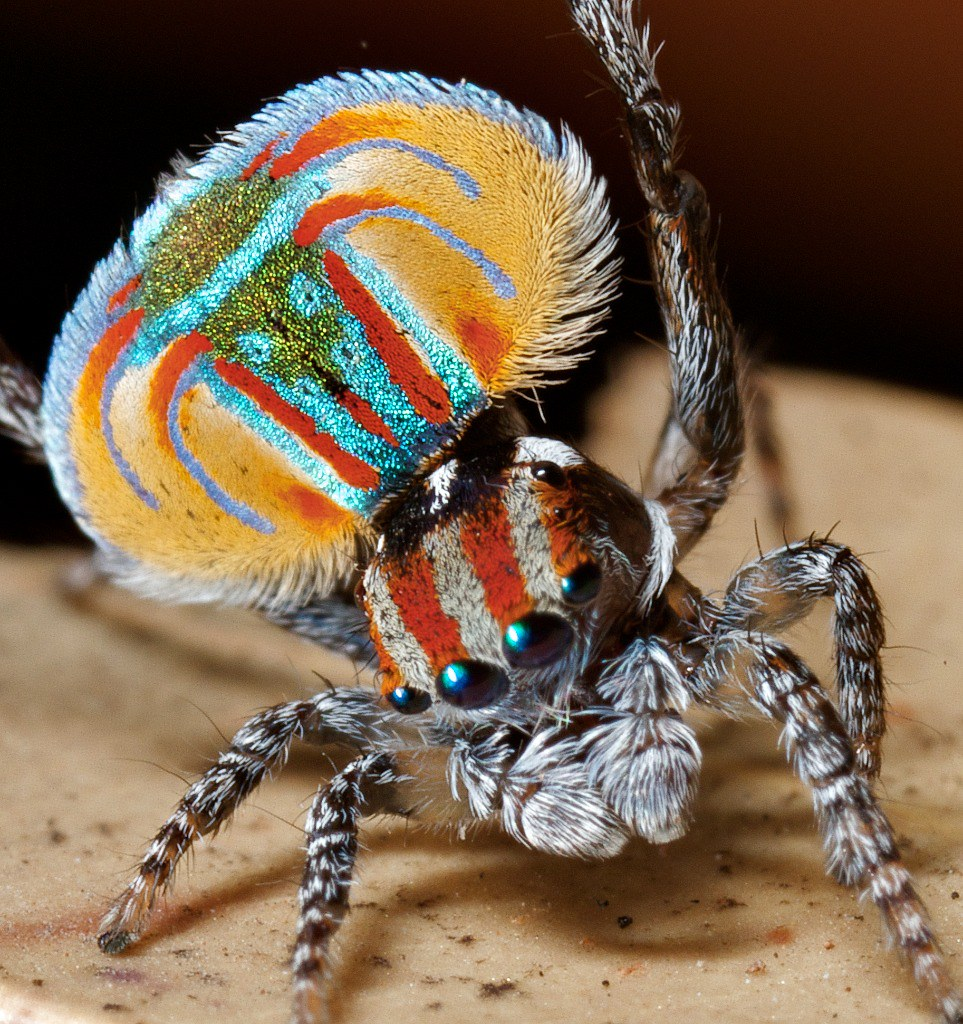 Peacock jumping spiders - photo#31