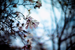 Fragile blooms of magnolia are stepping out, into sunlight | by moaan