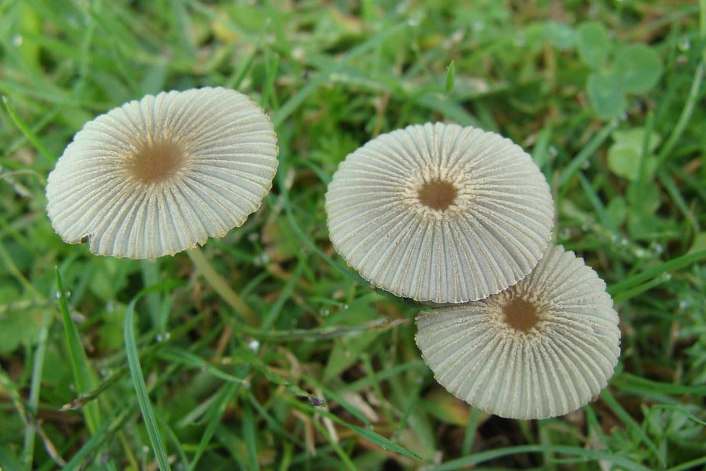 Japanese umbrella mushrooms   These small, delicate fungi ...