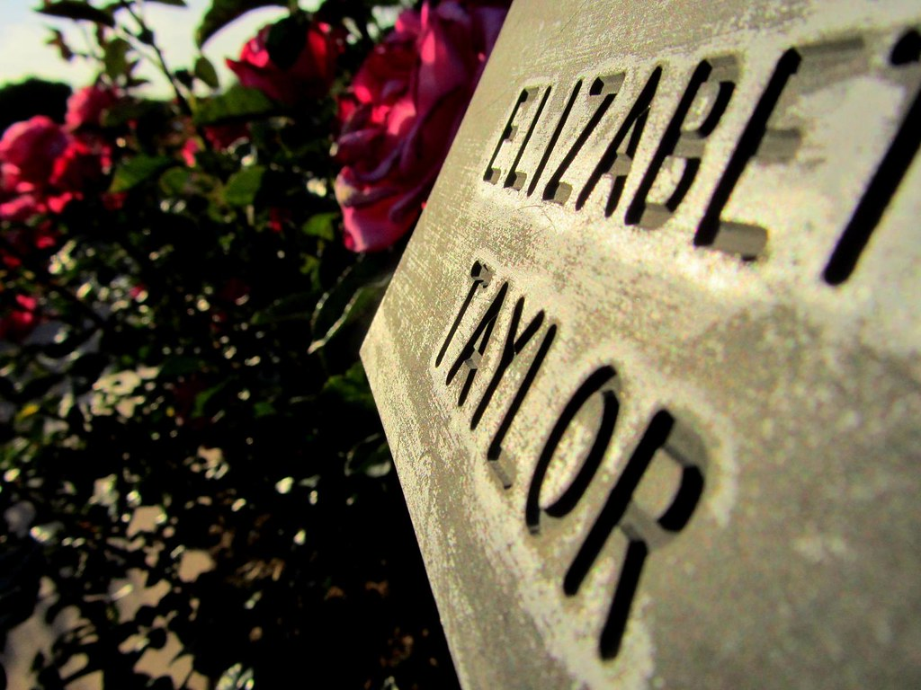 Quot The Elizabeth Taylor Rose Quot Rose Hills Memorial Park