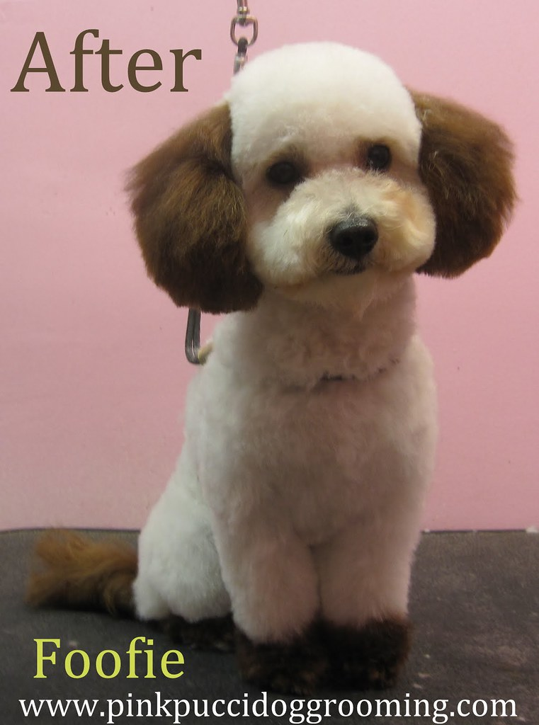 Foofie The Maltipoo Japanese Style Grooming Makeover With