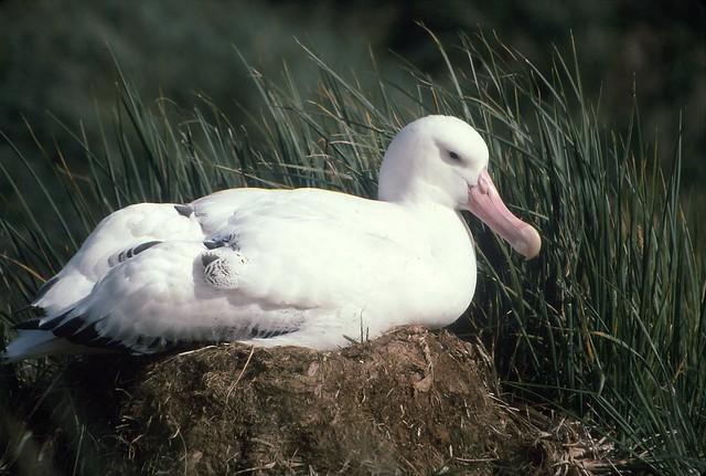 GREAT WANDERING ALBATROSS ON NESTWandering Albatross Nest