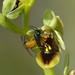Ophrys subinsectifera - Sterictiphora pseudocopulation
