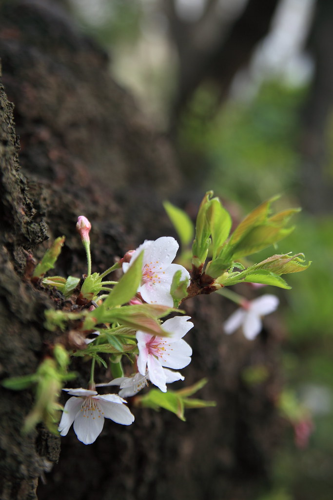 Cherry Blossom Growing On The Trunk Of A Tree Cherry In