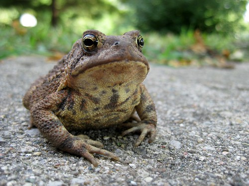 toad looking at the camera and sitting stoically on a rock