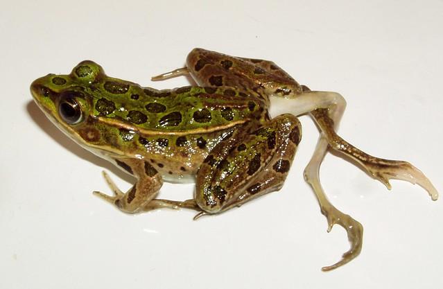 Deformed Leopard Frog Flickr Photo Sharing