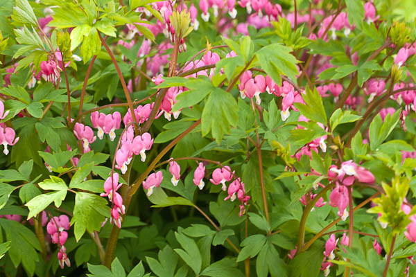 Bleeding heart bush spring flowers in quincy illinois ga