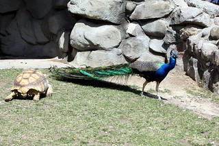 Tortoise Chasing Peafowl | by GollyGforce - Living My Worst Nightmare