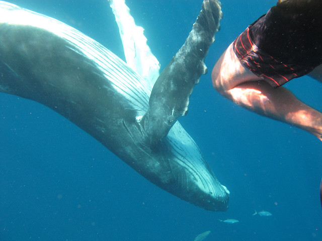 Humpback whales underwater | A baby whale and some little ...