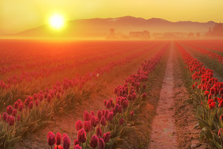 Skagit Valley Tulip Fields with Sun, Washington State | by Don Briggs