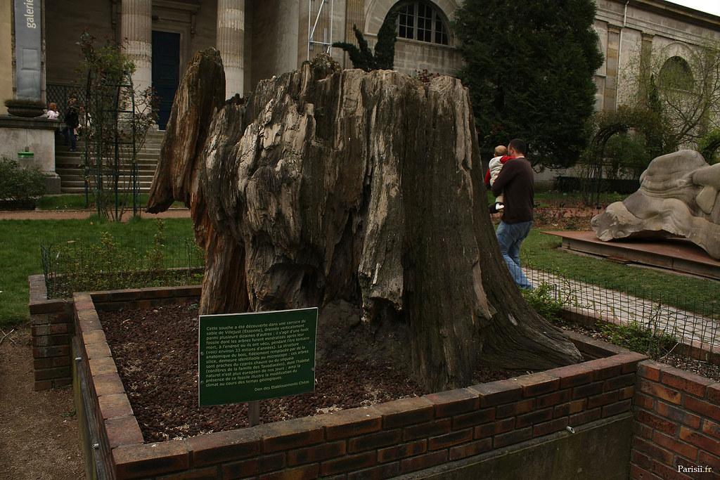 Souche d'arbre fossilisé