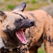 Wild dog yawning