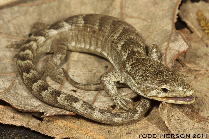 Abronia lythrochila: Red-lipped Arboreal Alligator Lizard ...