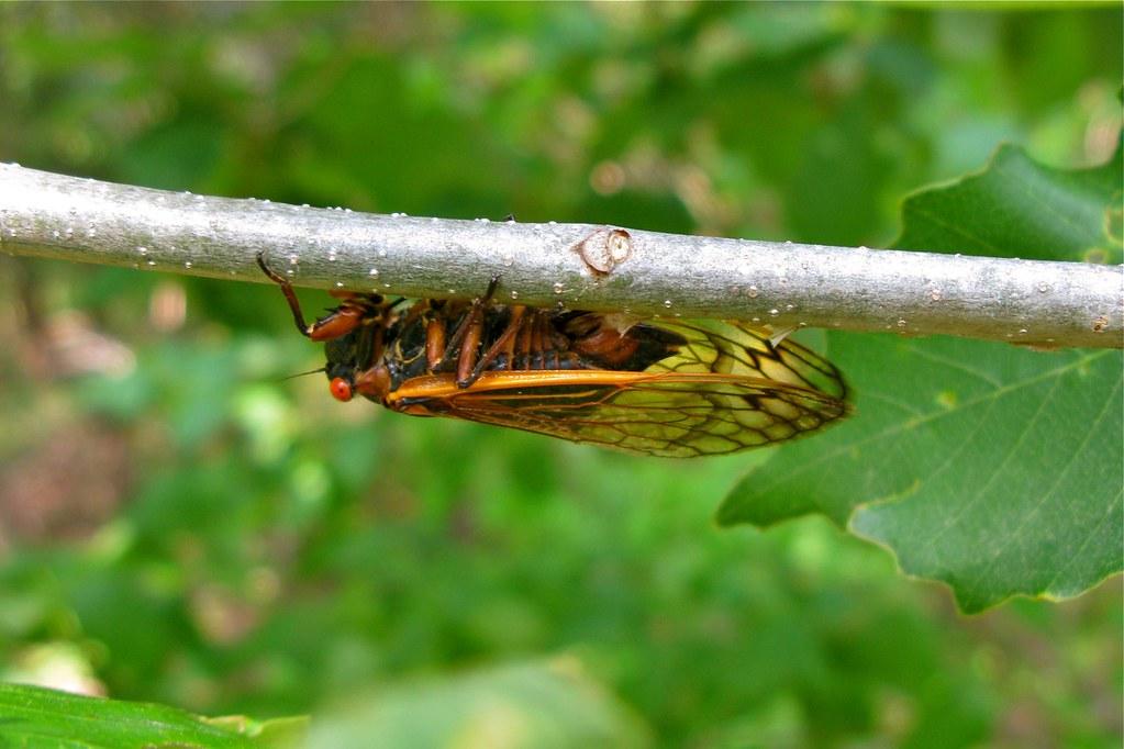 cicada eggs - photo #9