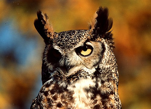 great horned owl brian murphy wc | by Contra Costa Times