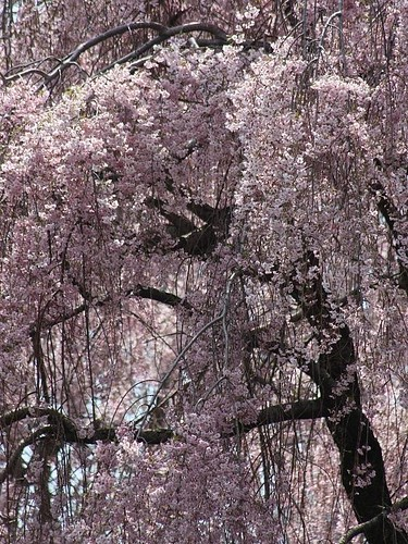 Weeping Cherry Tree | by donsutherland1