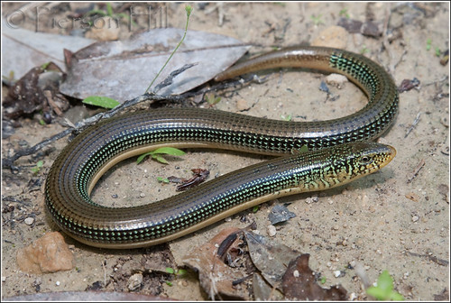 ��� ������� ������� (������� ��������) glass lizard or Snake