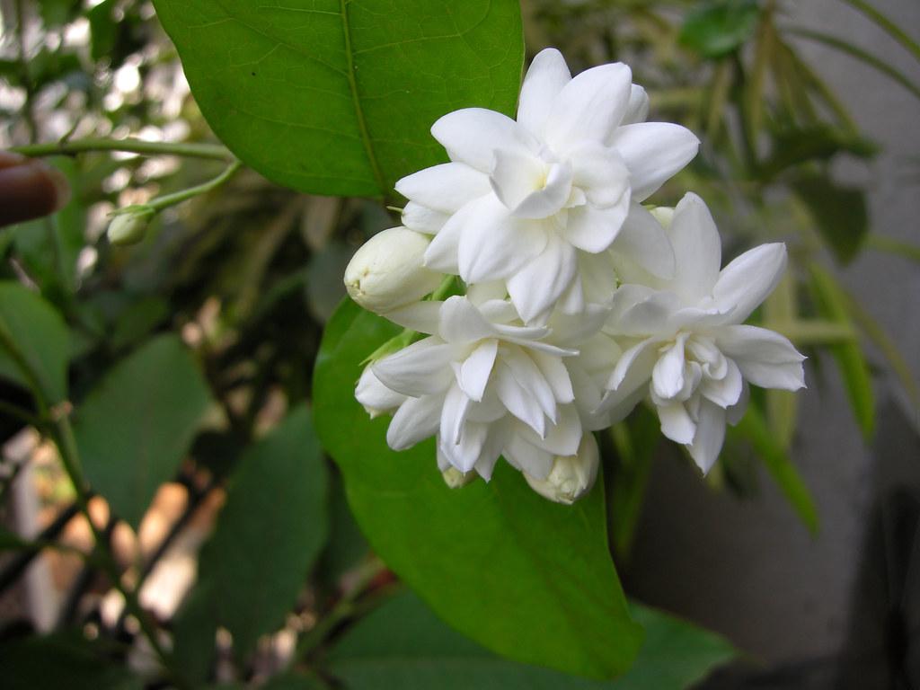 Mogara - Jasmine Seven | Common name: Arabian Jasmine