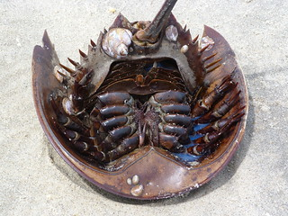 Horseshoe Crab | by DanCentury
