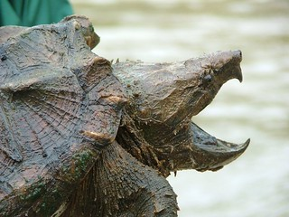 Alligator Snapping Turtle | by USFWS/Southeast