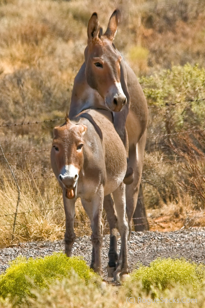 Wild-Burros-mating-sex-in-Red-Rock-Canyon-national-conserv
