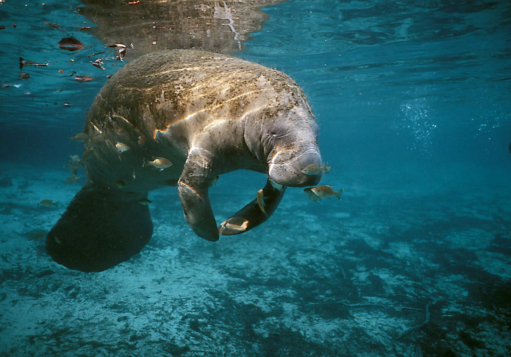 mantee hindu singles This species is very similar to the west indian manatee,  the single young is born after about a year's gestation distribution: coast of florida to brazil.