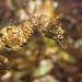 shortsnout seahorse