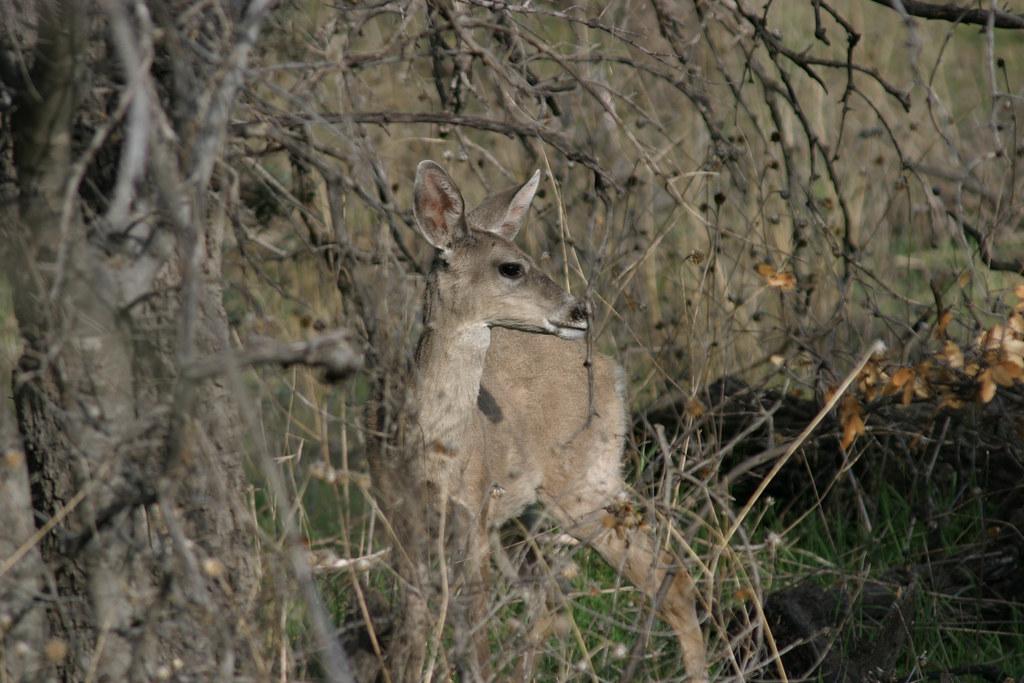 White Tailed Deer Madera Canyon Az 2004 03 26 2 Of 3