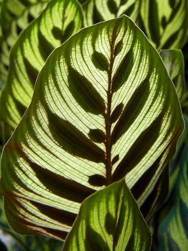 Back-lit Peacock Plant Leaves in Singapore Botanical Garden