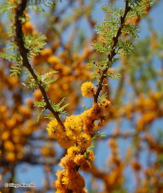 Detalle de flores y hojas de Espino, Acacia caven