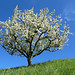 Flowering Cherry Tree on the Hill