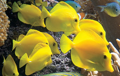 Yellow Tang in the Pacific Coral Reef
