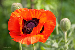 poppy by sure2talk