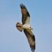 Pops Osprey