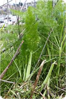 wild fennel growing along the sidewalk in Seattle, WA | by Kim | Affairs of Living