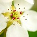 Up Close: Pear Tree Flower