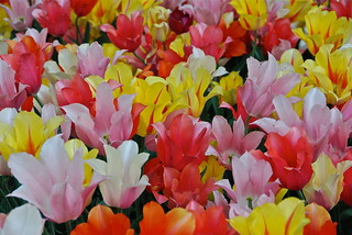 Salade de tulipes claires | by Flikkersteph -3,000,000 views ,thank you!
