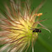 Fly on Pulsatilla Seed Head